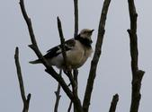 復旦大埤塘周遭的鳥兒:N74A2989.JPG