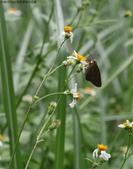 秋天雙溪的昆蟲:074A4788a.jpg