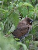 復旦-新天母公園的鳥兒:N74A3673.JPG