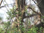 褐頭鷦鶯、粉紅鸚嘴、紅尾伯勞與灰頭鷦鶯:074A8784.JPG