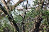 褐頭鷦鶯、粉紅鸚嘴、紅尾伯勞與灰頭鷦鶯:074A8785.JPG