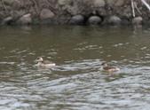 鰲鼓的候鳥與水鳥:074A7858.JPG