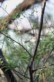 褐頭鷦鶯、粉紅鸚嘴、紅尾伯勞與灰頭鷦鶯:074A8786.JPG