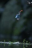水鳥捕魚千裡挑一精彩鏡頭:N74A6271.JPG