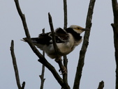 復旦大埤塘周遭的鳥兒:N74A2991a.jpg