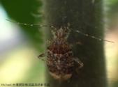 台灣猬盲椿成蟲與終齡若蟲:DSC08117綠複眼