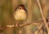 褐頭鷦鶯、粉紅鸚嘴、紅尾伯勞與灰頭鷦鶯:074A8742.JPG
