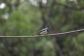 新天母公園的鵲鴝雄鳥:074A5788.JPG