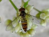 細扁食蚜蠅取食火炭母草花蜜:DSC09155細扁食蚜蠅(雌)觸角3節,末節具芒.jpg