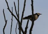 復旦大埤塘周遭的鳥兒:N74A2957.JPG