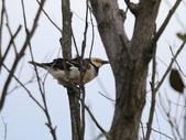復旦大埤塘周遭的鳥兒:N74A3004白領椋鳥.jpg