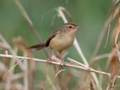 復旦大埤塘周遭的鳥兒:N74A3008褐頭鷦鶯.jpg