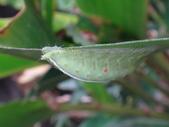 二隻黑點扁刺蛾早齡和終齡幼蟲~綠前蛹落跑:DSC06682黑點扁刺蛾終齡幼蟲.JPG