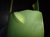 二隻黑點扁刺蛾早齡和終齡幼蟲~綠前蛹落跑:DSC06688.JPG