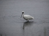 清晨鰲鼓濕地的鳥類:074A5857.JPG