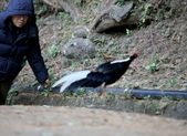 大雪山賞鳥和松鼠及猴王:074A7347跳躍山溝.JPG