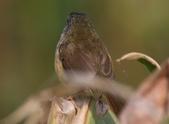 灰頭鷦鶯:N74A5105背部.JPG