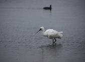 清晨鰲鼓濕地的鳥類:074A5864.JPG