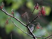 大雪山賞鳥和松鼠及猴王:074A7351山桐子紅果.jpg