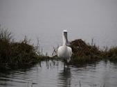 清晨鰲鼓濕地的鳥類:074A5835.JPG