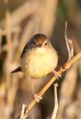 褐頭鷦鶯、粉紅鸚嘴、紅尾伯勞與灰頭鷦鶯:074A8747.JPG