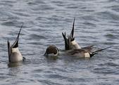 鰲鼓的候鳥與水鳥:N74A3135尖尾鴨公.JPG