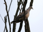 復旦大埤塘周遭的鳥兒:N74A3006金背鳩.jpg