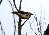 復旦大埤塘周遭的鳥兒:N74A3017a.jpg