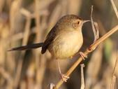 褐頭鷦鶯、粉紅鸚嘴、紅尾伯勞與灰頭鷦鶯:074A8744褐頭鷦鶯.jpg