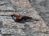 台南關子嶺的山麻雀親鳥育雛:074A3507.JPG