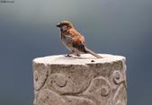 台南關子嶺的山麻雀親鳥育雛:074A3710何人在偷拍.jpg