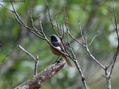 雙溪秋天的鳥類:074A5486黃尾鴝公鳥.jpg