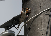 台南關子嶺的山麻雀親鳥育雛:074A3436二隻幼鳥一起探頭.jpg