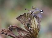 復旦大埤塘周遭的鳥兒:N74A3000.JPG