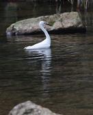 雙溪秋天的鳥類:074A5614小白鷺.jpg
