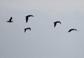 鰲鼓的候鳥與水鳥:074A7831鸕鶿群飛.jpg