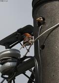 台南關子嶺的山麻雀親鳥育雛:074A3422公鳥置之不理.jpg