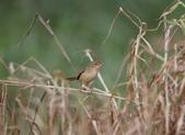 復旦大埤塘周遭的鳥兒:N74A3009.JPG