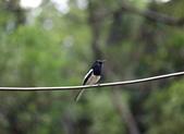 新天母公園的鵲鴝雄鳥:074A5787.JPG