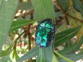 藍艷白點花金龜:DSC08617藍艷白點花金龜.JPG