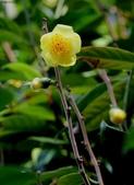 2017春天社區花兒與昆蟲:074A2314大葉金茶花花朵.jpg