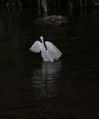 雙溪秋天的鳥類:074A5623.JPG