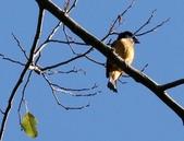 冬至大雪山活潑的鳥兒與松鼠:074A6928黃腹琉璃公鳥.JPG