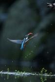 水鳥捕魚千裡挑一精彩鏡頭:N74A6270.JPG