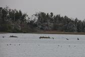 鰲鼓的候鳥與水鳥:074A7897鸕鶿低飛.JPG