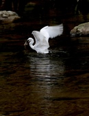 雙溪秋天的鳥類:074A5625捕獲大魚.jpg