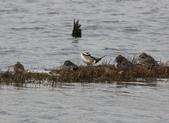鰲鼓的候鳥與水鳥:074A7904休息時間,勿擾.JPG