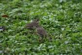 復旦-新天母公園的鳥兒:N74A3576二隻.JPG