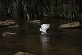 雙溪秋天的鳥類:074A5626.JPG