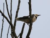 復旦大埤塘周遭的鳥兒:N74A2950黑領椋鳥.jpg